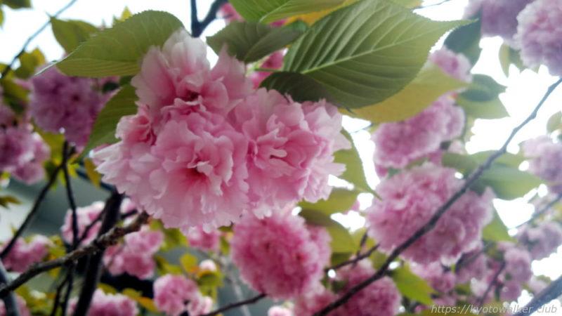 東寺弘法市20190421の牡丹桜