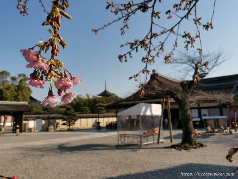 東寺 河津桜と御影堂 20210221