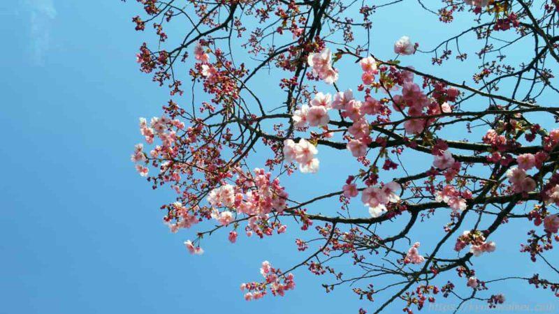 東寺 御影堂 西側 陽光桜 20200318