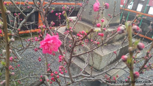 六孫王神社の梅