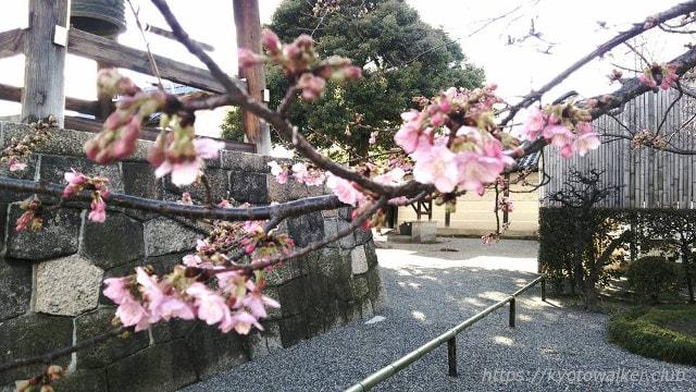 20160215河津桜
