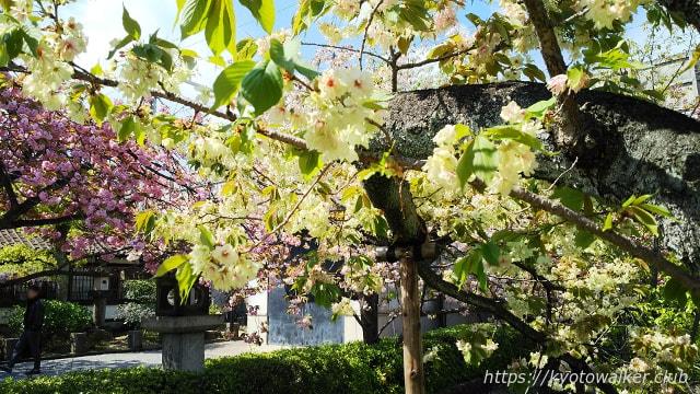 六孫王神社 20180408 黄緑の桜