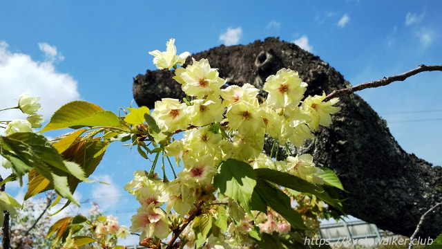 六孫王神社黄緑の桜