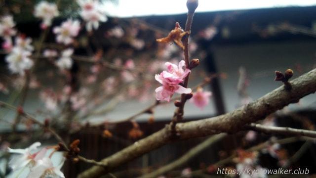 平野神社 10月桜