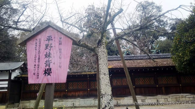平野神社 桜「平野妹背櫻」