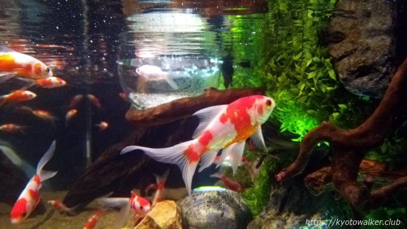 京都水族館 WOW!金魚遊び 展示の金魚