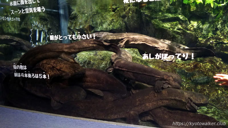 2018080719京都水族館オオサンショウウオ