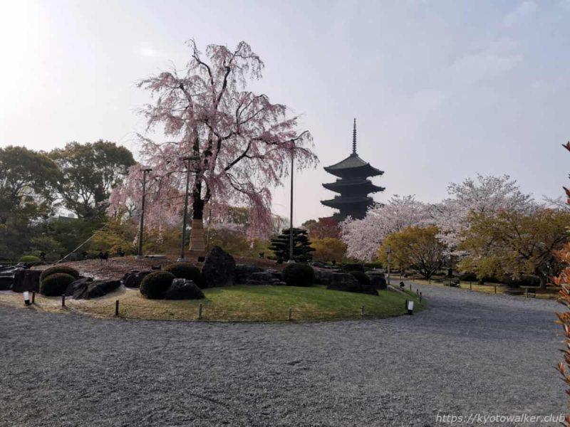 東寺 不二桜 20210330