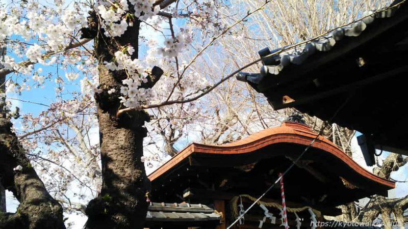 宇賀神社 社殿と桜