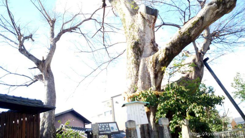 宇賀神社 むくのき