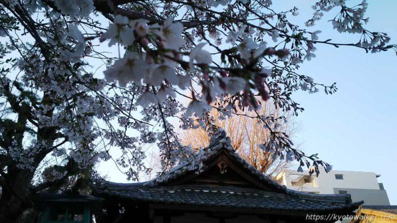 宇賀神社 拝殿の屋根と桜