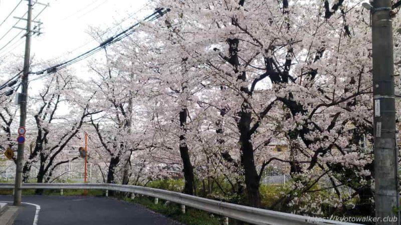 嚴嶌神社 周辺の桜 20190407-2