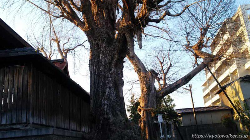 宇賀神社 銀杏と椋の木 20190404