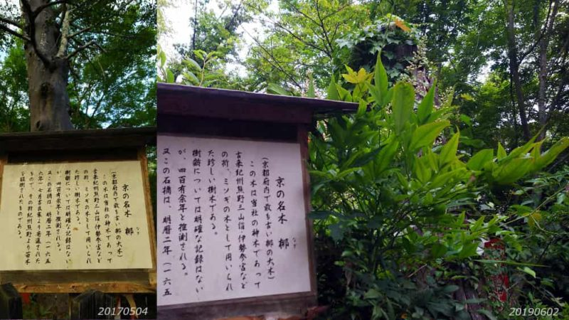 熊野若王子神社 梛の木