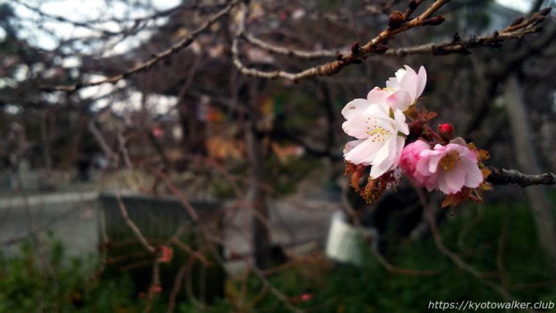 妙蓮寺 御会式桜 20200102