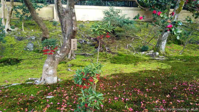 霊鑑寺 庭園 紅八重侘助椿と万両 20200223