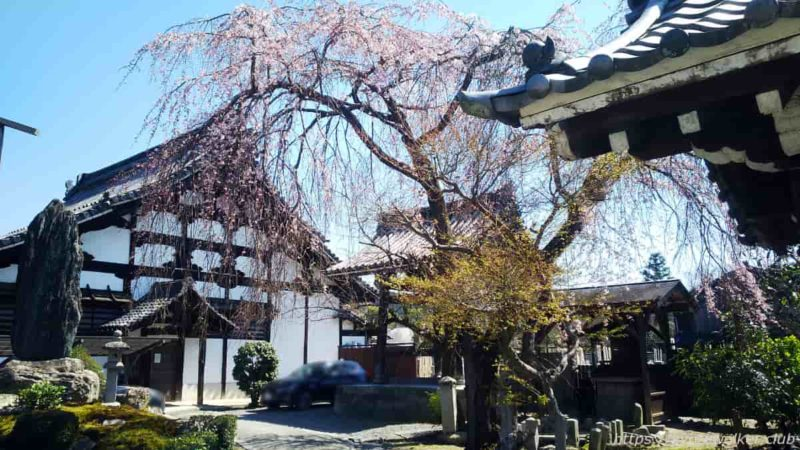 満願寺 境内 シダレ桜と庫裏20200323
