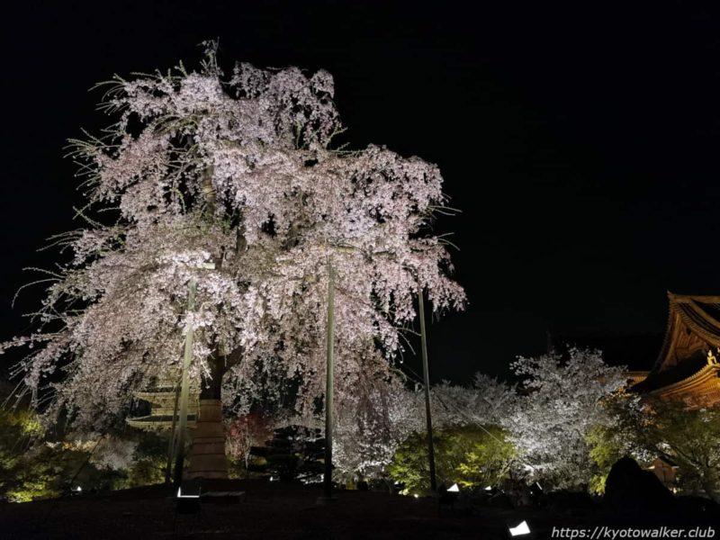 東寺 不二桜と五重塔と講堂 20210331