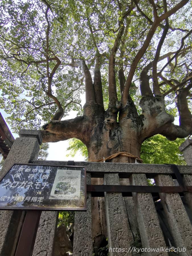 満足稲荷神社 御神木もちの木 20210411